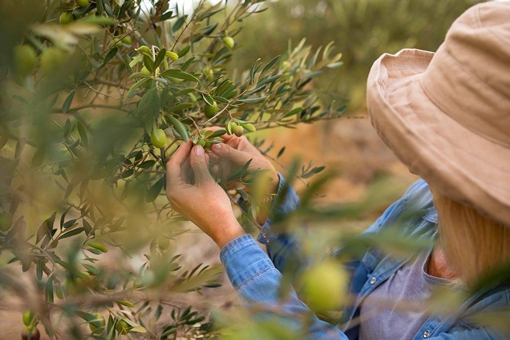 Mosca dell'olivo   Come combatterla in modo biologico